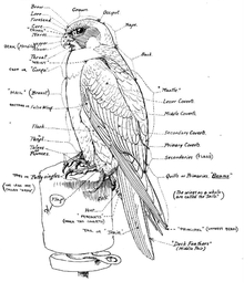 220px-Falconry_sport_of_kings_(1920)_chart[1]
