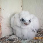 Eyas Prairie Falcon