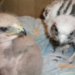 Imprint redtail and prairie falcon