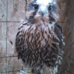 eyas peregrine x prairie falcon